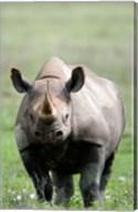 Black rhinoceros (Diceros bicornis) standing in a field, Ngorongoro Crater, Ngorongoro, Tanzania Fine-Art Print