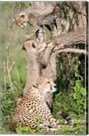 Cheetah cubs (Acinonyx jubatus) with their mother in a forest, Ndutu, Ngorongoro, Tanzania Fine-Art Print
