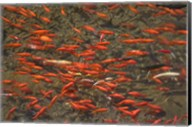 Goldfish (Carassius auratus) swimming in the Yu River Canal, Old Town, Lijiang, Yunnan Province, China Fine-Art Print