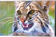 Close-up of a Bobcat (Lynx rufus) Fine-Art Print