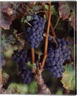 Purple Grapes, Wine Country, California Fine-Art Print