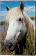 Close up of White Camargue Horse, Camargue, Saintes-Maries-De-La-Mer, Provence-Alpes-Cote d'Azur, France Fine-Art Print