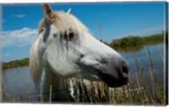 White Camargue Horse with Head over Fence, Camargue, Saintes-Maries-De-La-Mer, Provence-Alpes-Cote d'Azur, France Fine-Art Print