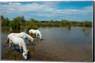 Three white Camargue horses in a lagoon, Camargue, Saintes-Maries-De-La-Mer, Provence-Alpes-Cote d'Azur, France Fine-Art Print