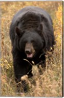 Black Bear walking in brush, Montana Fine-Art Print