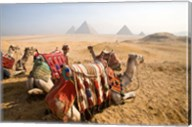 Egypt, Cairo, Camels, desert sands of Giza Pyramids Fine-Art Print