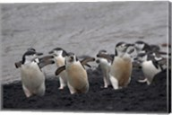 Chinstrap Penguin on the beach, Deception Island, Antarctica Fine-Art Print