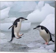 Chinstrap Penguins on ice, Antarctica Fine-Art Print