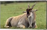 Eland (Taurotragus oryx) Kenya's largest antelope Fine-Art Print