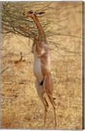 Gerenuk antelope, Samburu Game Reserve, Kenya Fine-Art Print