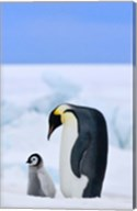Parent and chick Emperor Penguin, Snow Hill Island, Antarctica Fine-Art Print