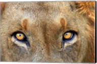 Close-up of Male Lion, Kruger National Park, South Africa. Fine-Art Print