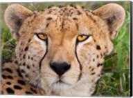 Cheetah, Serengeti National Park, Tanzania Fine-Art Print