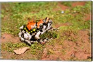 Africa, Madagascar, Isalo. Terrible frog Fine-Art Print