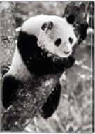 China, Sichuan, Giant Panda Bear, Wolong Reserve Fine-Art Print