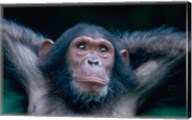 Female Chimpanzee Stretching, Gombe National Park, Tanzania Fine-Art Print