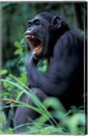 Female Chimpanzee Yawning, Gombe National Park, Tanzania Fine-Art Print