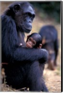 Female Chimpanzee Cradles Newborn Chimp, Gombe National Park, Tanzania Fine-Art Print