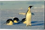 Emperor Penguins, Antarctica, Atka Bay, Weddell Sea Fine-Art Print