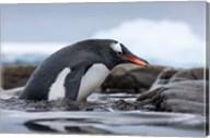 Antarctica, Cuverville Island, Gentoo Penguin climbing from water. Fine-Art Print