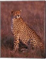 Cheetah sitting, Masai Mara, Kenya Fine-Art Print