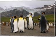 King penguins, Gold Harbor, South Georgia Fine-Art Print