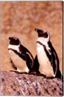 Jackass Penguins, Simons Town, South Africa Fine-Art Print