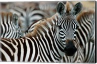 Kenya: Masai Mara Game Reserve, Burchell's zebra Fine-Art Print