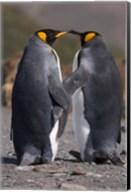 King penguins, mating ritual Fine-Art Print