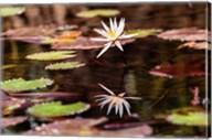 Lily in bloom on the Du River, Monrovia, Liberia Fine-Art Print