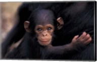Infant Chimpanzee, Gombe National Park, Tanzania Fine-Art Print