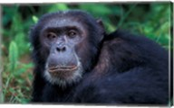 Male Chimpanzee Relaxing, Gombe National Park, Tanzania Fine-Art Print