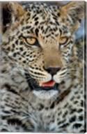 Leopard Female Cub, Savuti Channal, Linyanti Area, Botswana Fine-Art Print