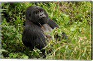 Mountain Gorilla, Volcanoes National Park, Rwanda Fine-Art Print