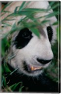Panda, Wolong, Sichuan, China Fine-Art Print