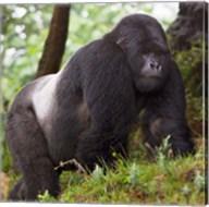 Rwanda, Mountain Gorilla, No 2 Silverback Fine-Art Print