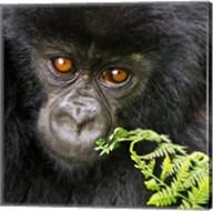 Rwanda, Volcanoes NP, Mountain Gorilla Staring Fine-Art Print