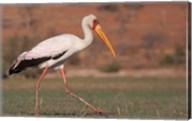Saddle-billed Stork, Chobe National Park, Botswana Fine-Art Print