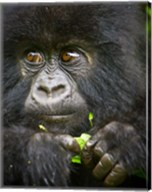 Rwanda, Volcanoes NP, Close up of a Mountain Gorilla Fine-Art Print
