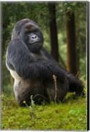 Mountain Gorilla, Rwanda Fine-Art Print