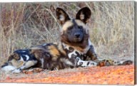 South Africa, Madikwe Game Reserve, African Wild Dog Fine-Art Print