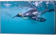 King Penguin Underwater Fine-Art Print