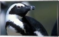 Close up of African Penguin Fine-Art Print