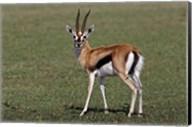 Thomson's Gazelle antelope, Maasai Mara, Kenya Fine-Art Print