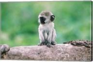 Tanzania, Ngorogoro Crate, Wild vervet monkey baby Fine-Art Print
