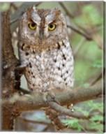 Tanzania. African Scops Owl at Tarangire NP. Fine-Art Print