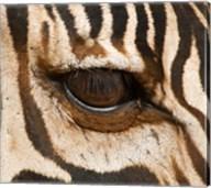 Tanzania, Tarangire National Park, Common zebra eye Fine-Art Print