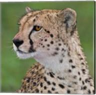 Tanzania, Cheetah, Ndutu, Ngorongoro Area Fine-Art Print