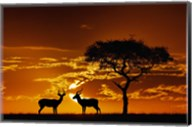 Umbrella Thorn Acacia and Impala, Masai Mara Game Reserve, Kenya Fine-Art Print