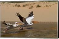 White Pelicans, Sandwich Harbor, Namib-Naukluft, Namibia Fine-Art Print